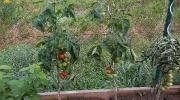 první rajčátka
